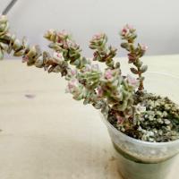 Крассула Rupestris variegata