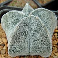 Семена ASTROPHYTUM coahuilense