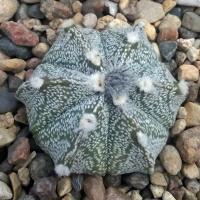Семена ASTROPHYTUM marginatum