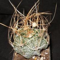 Семена ASTROPHYTUM crassispinoides