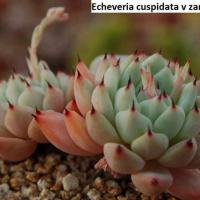 Семена ECHEVERIA cuspidata v. zaragossae