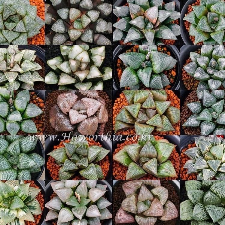 Семена Haworthia mix