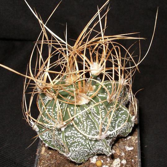 Купить Семена ASTROPHYTUM crassispinoides