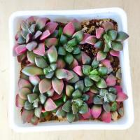 Купить Семена Anacampseros Rufescens 'sunrise'